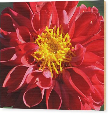 Wood Print featuring the photograph Red Dahlia by Jodi Terracina