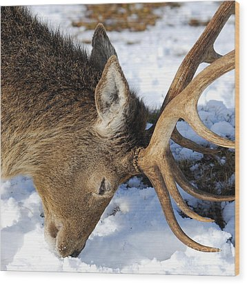 Red Deer Stag Forages For Food Closeup Portrait  Wood Print by John Kelly