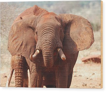 Red Elephant Drinking Wood Print by Alan Clifford
