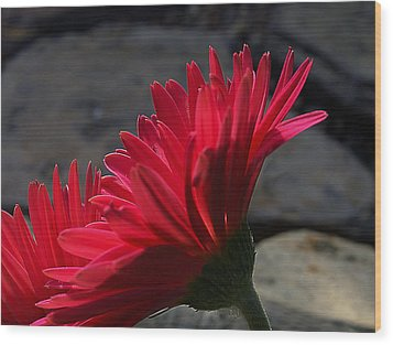 Wood Print featuring the photograph Red English Daisy by Joe Schofield