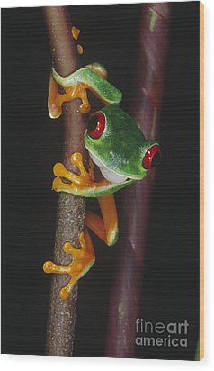 Red-eyed Tree Frog Agalychnis Callidryas Wood Print by Gregory G. Dimijian, M.D.