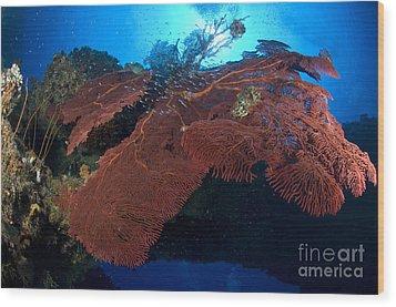 Red Fan Cora With Sunburst, Papua New Wood Print by Steve Jones