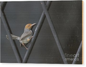 Wood Print featuring the photograph Red Headed Tailorbird. by Gary Bridger