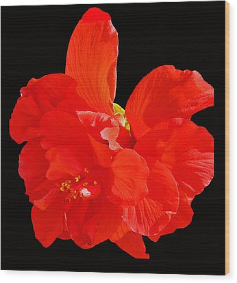 Red Hibiscus Wood Print by Cindy Manero