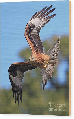 Red Kite On A Mission Wood Print by Clare Scott