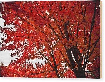 Red Maple Tree Wood Print by Kamil Swiatek