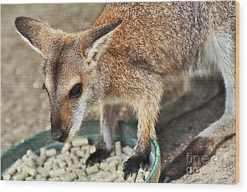 Red-necked Wallaby Wood Print by Kaye Menner