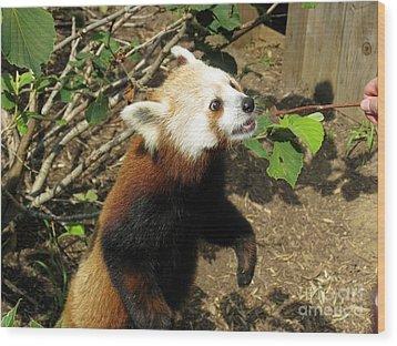 Red Panda Feeding Time Wood Print by Ausra Huntington nee Paulauskaite