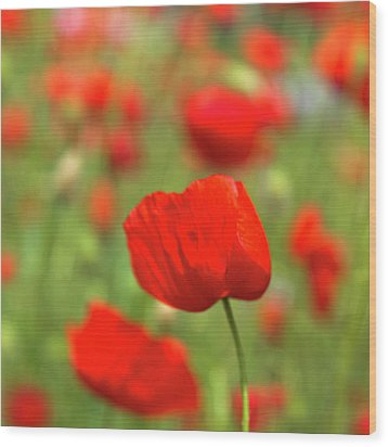 Red Poppies In Cornfield Wood Print by Kees Smans