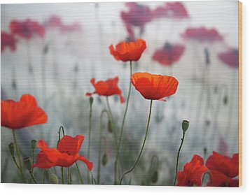 Red Poppies(papaver Rhoeas)  And Polytunnel Wood Print by Pascal Preti