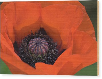 Red Poppy Wood Print by Carolyn Dalessandro