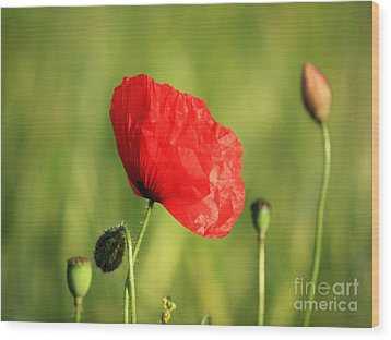 Red Poppy In Field Wood Print by Pixel Chimp