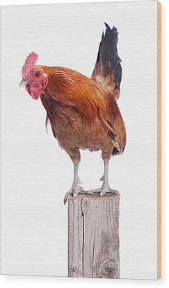 Red Rooster On Fence Post Isolated White Wood Print by Cindy Singleton
