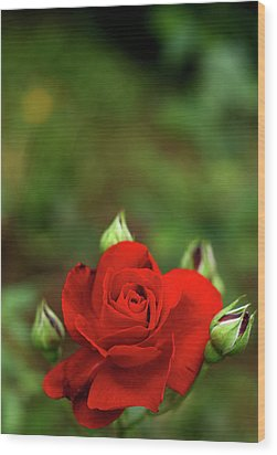 Red Rose Wood Print by Annfrau