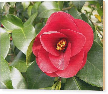 Red Rose Knock Out Wood Print by Sandi OReilly