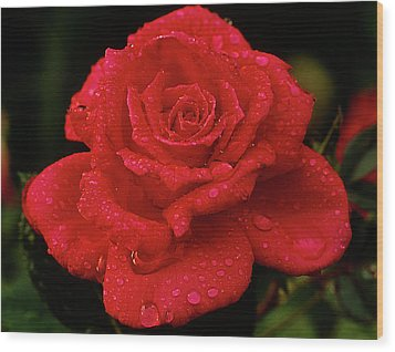 Red Rose With Rain Wood Print