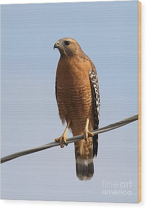 Red-shouldered Hawk . 7d10246 Wood Print by Wingsdomain Art and Photography