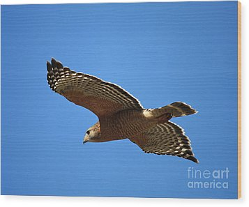Red Shouldered Hawk In Flight Wood Print by Carol Groenen