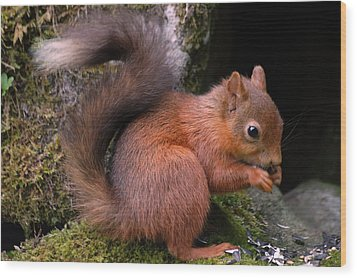 Wood Print featuring the photograph Red Squirrel by Lynn Bolt