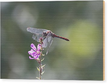 Red Tail Dragonfly Wood Print