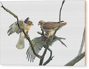 Red-tail Family Wood Print by Denny Bingaman