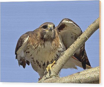 Red Tail Hawk Closeup Wood Print by Ron Sgrignuoli