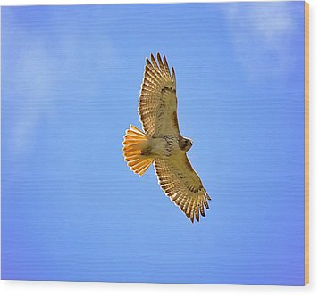 Wood Print featuring the photograph Red-tail Hawk by Joe Urbz