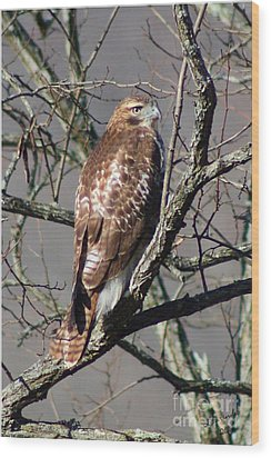 Wood Print featuring the photograph Red Tail Hawk by Laurinda Bowling
