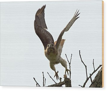 Red Tail Hawk Takeoff Wood Print by Ron Sgrignuoli