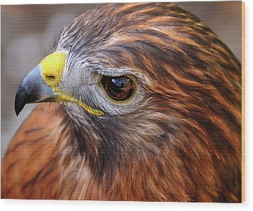 Red-tailed Hawk Close Up Wood Print