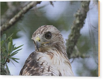 Red-tailed Hawk Has Superior Vision Wood Print by Travis Truelove