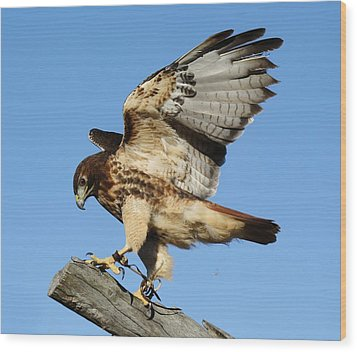 Red Tailed Hawk Wood Print by Paulette Thomas