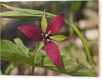 Wood Print featuring the photograph Red Trillium by Les Palenik