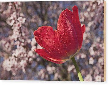 Red Tulip Against Cherry Tree Wood Print by Garry Gay
