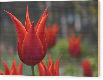 Red Tulips Wood Print by Michael Friedman