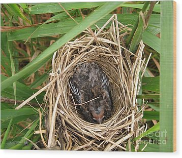 Red-winged Blackbird Baby In Nest Wood Print by J McCombie