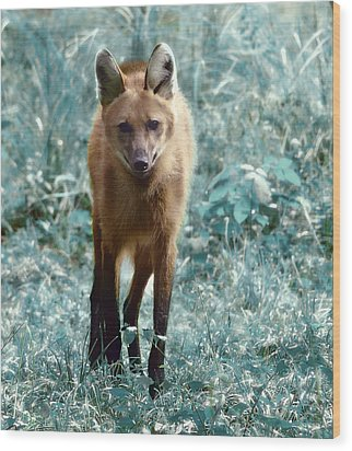 Wood Print featuring the photograph Red Wolf by Raymond Earley
