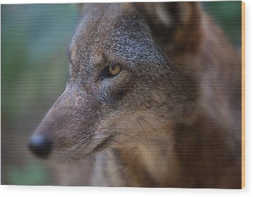 Red Wolf Stare Wood Print by Karol Livote