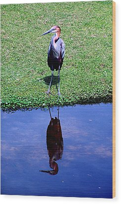 Reddish Egret  Wood Print by Michelle Harrington