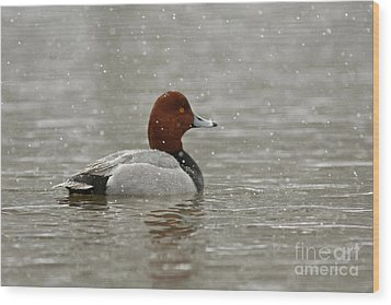 Redhead Duck In Winter Snow Storm Wood Print by Inspired Nature Photography Fine Art Photography