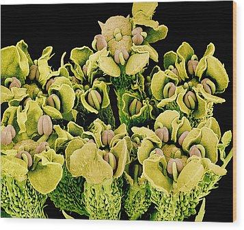 Reproductive Flower Parts, Sem Wood Print by Susumu Nishinaga