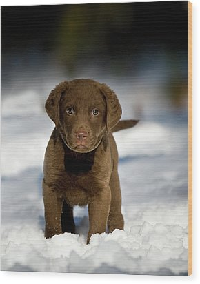 Retriever Puppy In Snow Wood Print by Copyright © Kerrie Tatarka