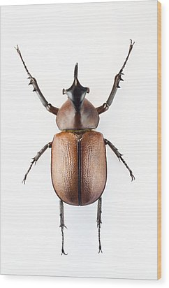 Rhinoceros Beetle Wood Print by Lawrence Lawry