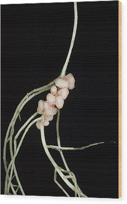 Rhizobium Leguminosarum Root Nodules Wood Print by Dr.jeremy Burgess