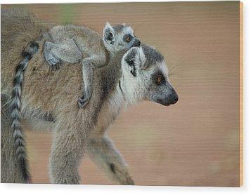 Ring-tailed Lemur Lemur Catta Baby Wood Print by Cyril Ruoso