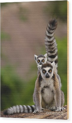 Ring-tailed Lemur Lemur Catta Mother Wood Print by Pete Oxford