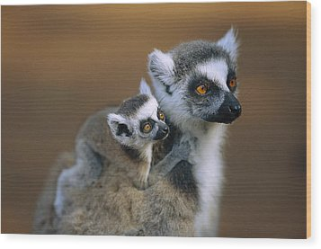 Ring-tailed Lemur Mother Carrying Baby Wood Print by Cyril Ruoso