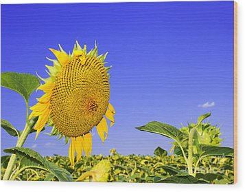 Ripening Sunflower Head  Wood Print by Volodymyr Chaban