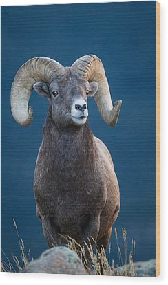 Rocky Mountain Big Horn Wood Print by Ronald Lutz