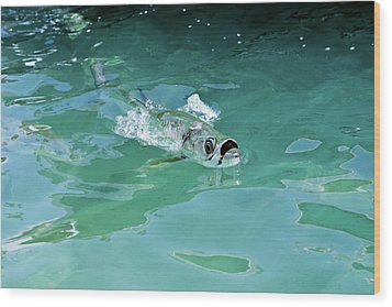 Rolling Tarpon Wood Print by Nick  Shirghio